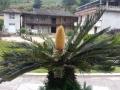 桂峰村鐵樹開花